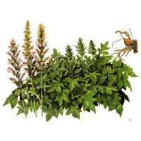 rousso-acanthus-mollis
